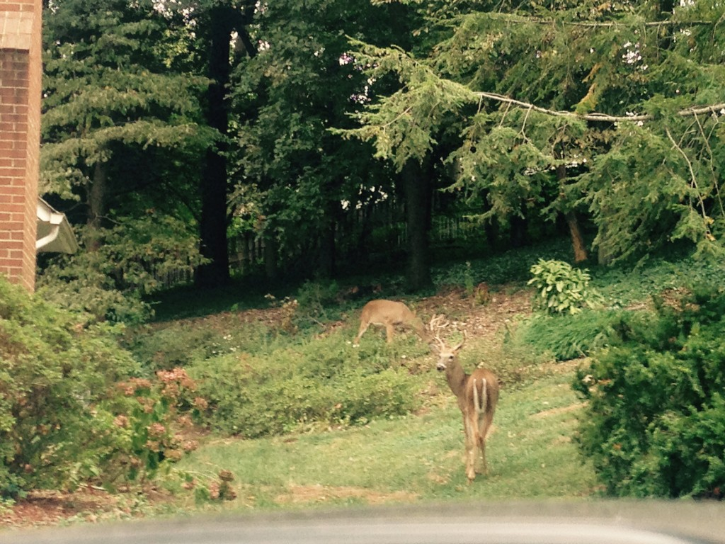 Deer in the suburbs of Washington DC